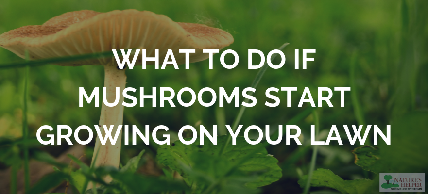 What to Do If Mushrooms Start Growing on Your Lawn